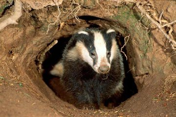 Badger_sett1