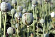 Poppy_plant