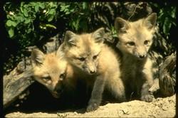 Red_fox_159008