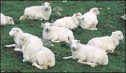 _1071702_sheep300